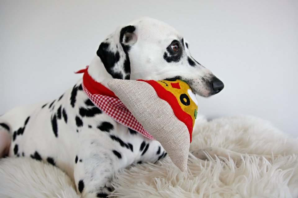 Dalmatian dog playing with a homemade pizza slice dog toy