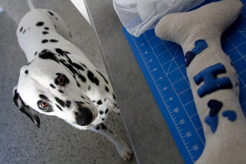 Dalmatian dog watching owner sewing homemade dog toys
