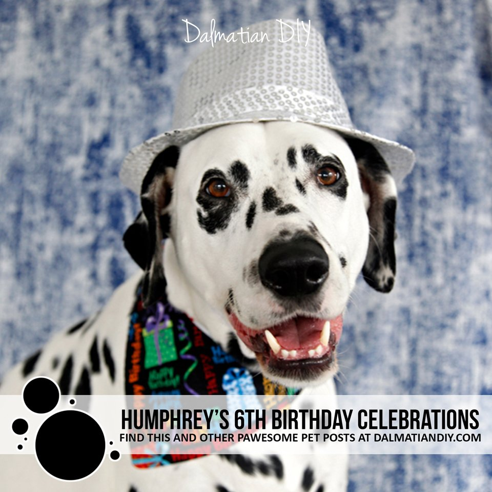 Humphrey the Dalmatian dog's 6th birthday celebrations