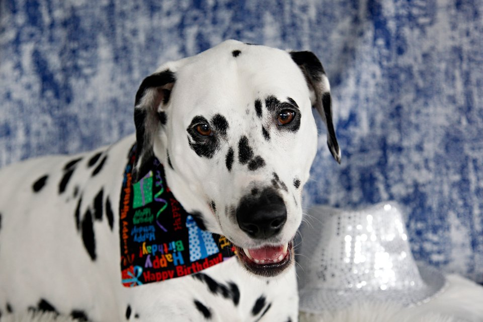 Humphrey the Dalmatian dog's 6th birthday portrait