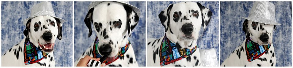 Humphrey the Dalmatian dog's 6th birthday portraits