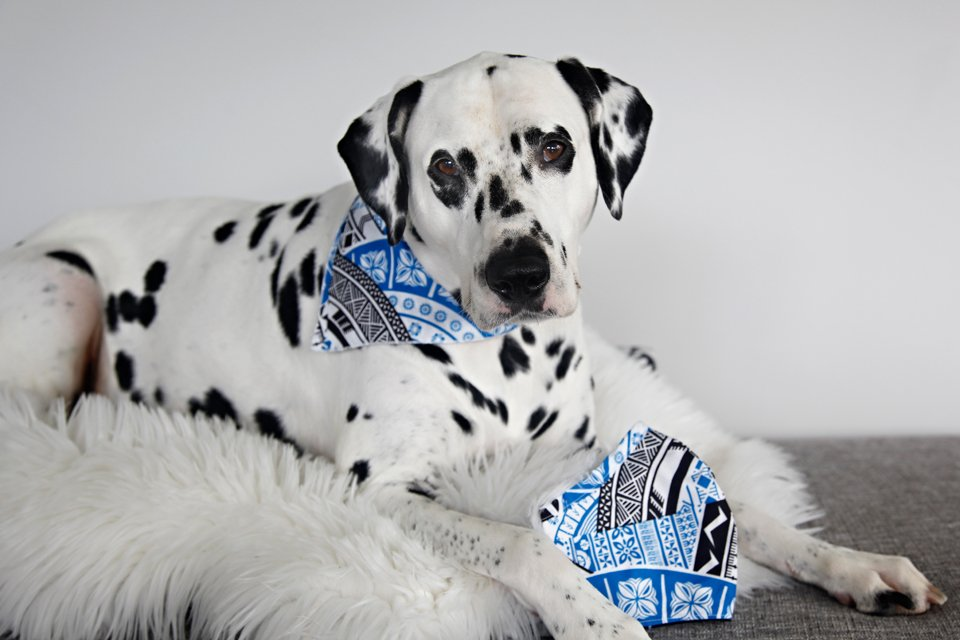 Dalmatian dog wearing a DIY bandana that matches his owner's face mask