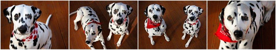 Dalmatian dogs wearing Canada Day bandanas