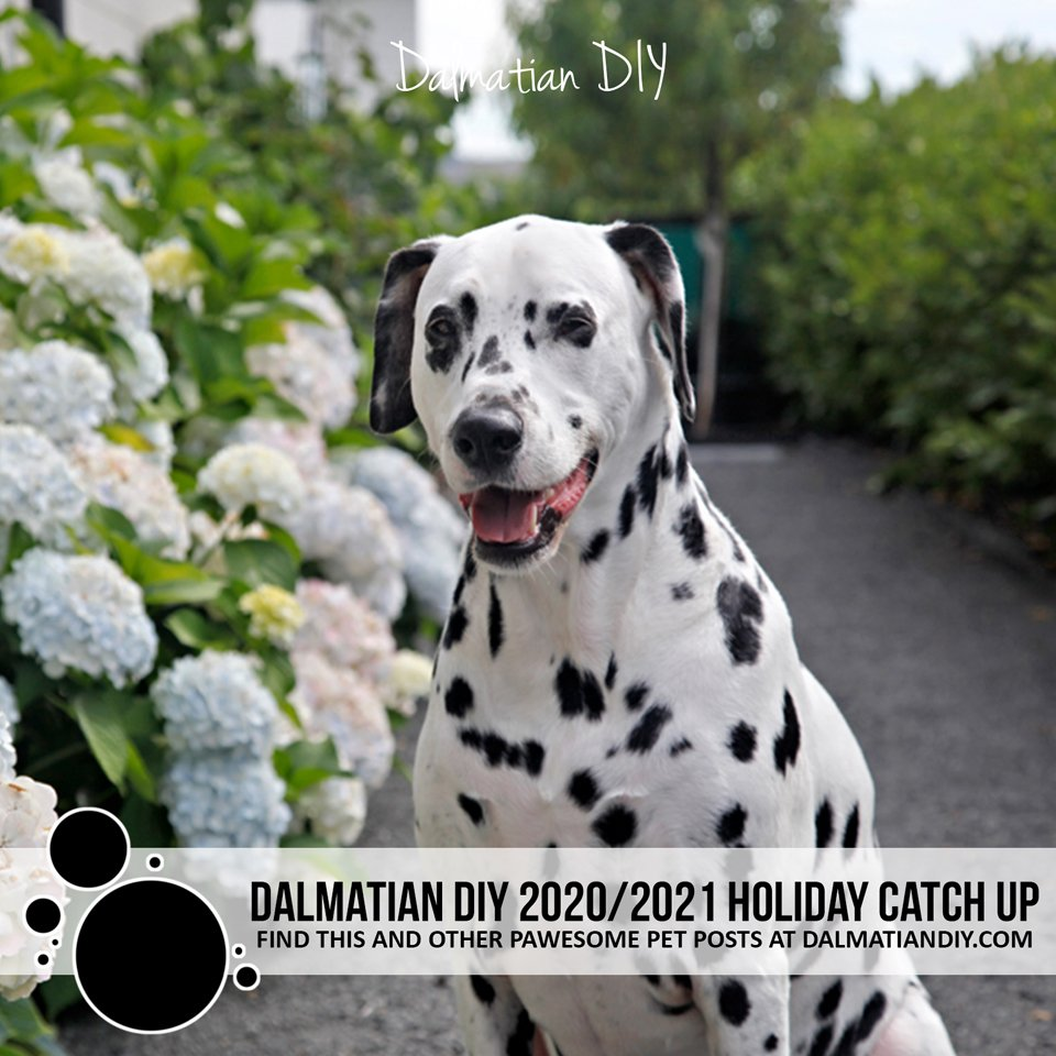Dalmatian DIY dog blog 2020/2021 holiday catch up