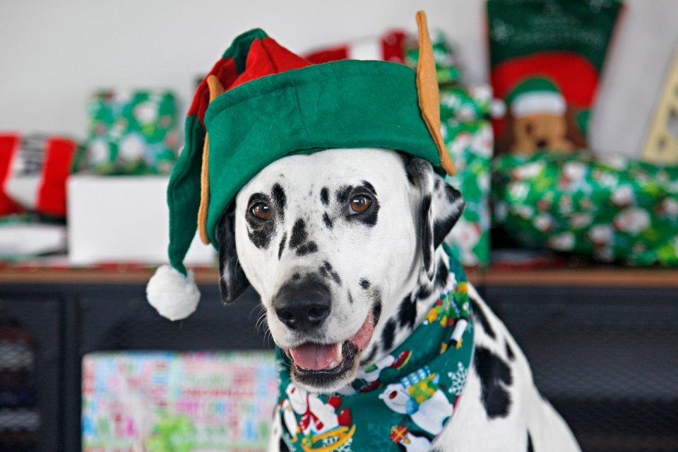 Humphrey blog dog of Dalmatian DIY wearing Christmas elf hat