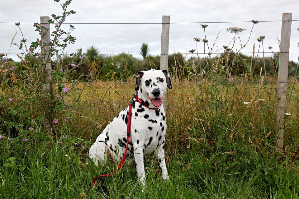 Humphrey blog dog of Dalmatian DIY in a summer field