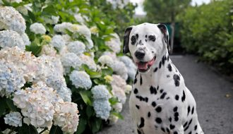 Humphrey blog dog of Dalmatian DIY in the summer hydrangea garden