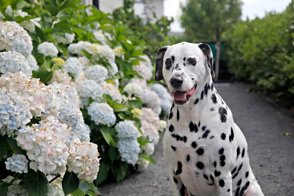 Humphrey blog dog of Dalmatian DIY in the summer hydrangea garden