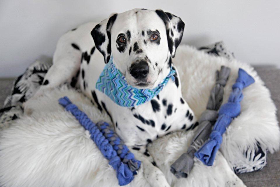Dalmatian dog with homemade no-sew toys