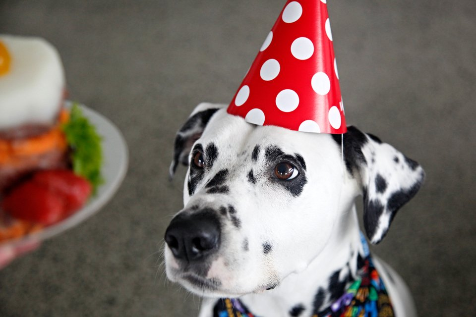 Dalmatian dog staring at homemade birthday cake