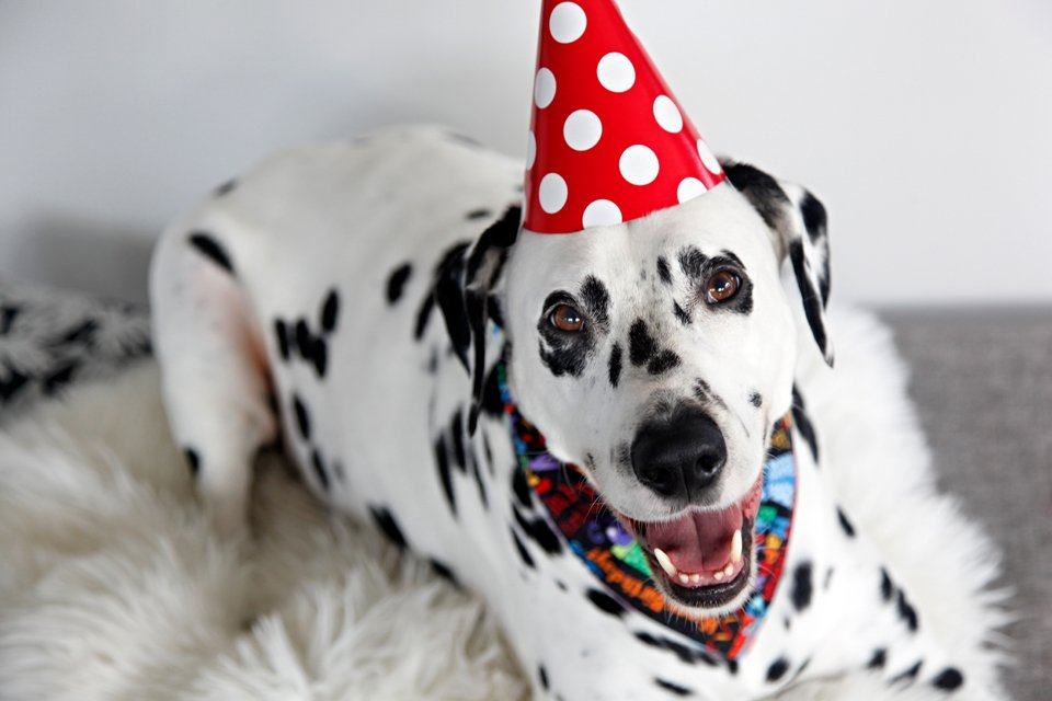 Smiling Dalmatian in party hat for Humphrey's 7th birthday