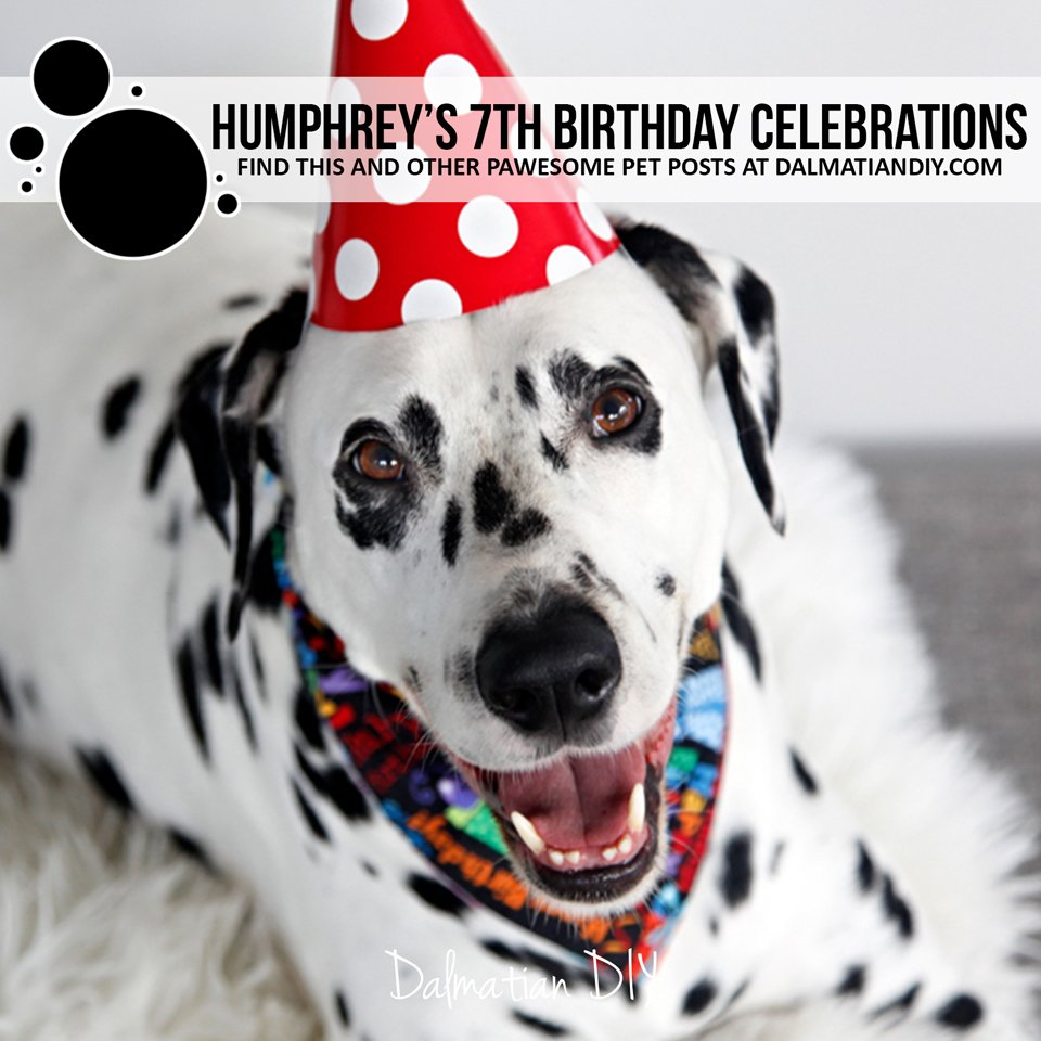 Humphrey's 7th dog birthday party celebrations
